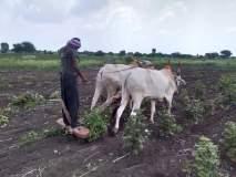 पावसाअभावी पिके संकटात; महिला शेतकऱ्याने पाच एकर कापसावर फिरवला नांगर