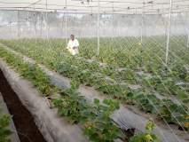 साखरडोहच्या शेतकऱ्याने शेडनेटमध्ये फुलविली काकडी