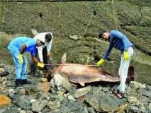 ...म्हणून मुंबईच्या समुद्रकिनारी आढळतात मृत डॉल्फिन!