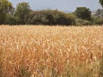 Drought In Marathwada : दुष्काळाची 'झळ' एकीकडे; मूल्यमापनाची 'कळ' दुसरीकडे