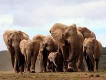 हस्तीदंतासाठी मनुष्याने दाखवली क्रूरता, आता आफ्रिकेत दात नसलेले हत्ती येताहेत जन्माला!