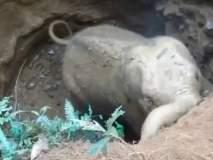 आपल्या पिल्लाला खड्ड्यातून बाहेर काढल्यानंतर हत्तींनी व्यक्त केली कृतज्ञता