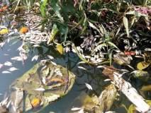 बिरवाडी येथे काळ नदीत मृत माशांचा खच