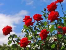 'प्रेमा'च्या सणासाठी मावळ तालुक्यातून झाली दीड कोटी गुलाबांची निर्यात