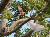 पतंगाच्या मांजामुळे घार पक्षी दोन दिवसांपासून झाडावर लटकलेला
