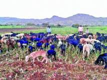 कांद्याच्या पिकात सोडल्या शेळ्या-मेंढ्या