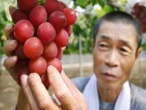 बाबो! ७.५ लाख रूपयांना विकला गेला द्राक्षांचा एक गढ, खायचे की शोकेसमध्ये ठेवायचे?