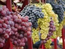 द्राक्ष निर्यातीत ३० हजार टनांची घट