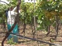 ओखी वादळामुळे एक हजार हेक्टर शेतीला फटका, द्राक्ष व कांद्याचे सर्वाधिक नुकसान