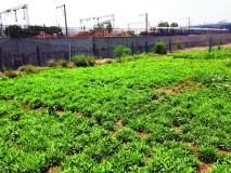 'ग्रो मोअर फूड्स'ला ठेकेदारांकडून हरताळ;दूषित पाण्यावर पिकतोय भाज्यांचा मळा