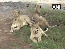 गीरच्या जंगलात गेल्या 11 दिवसात 11 सिंहांचा मृत्यू