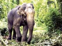 पाळयेत हत्तींकडून नुकसान, शेतकऱ्यांची डोकेदुखी मात्र वाढली