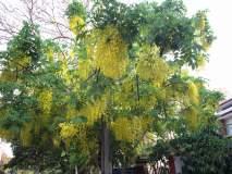 भर उन्हाळ्यात फुललेले कोल्हापूरातील नेत्रसुखद वृक्ष दर्शन