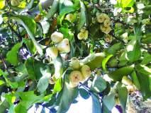 सफेद जांबूला फळगळतीचा धोका; बागायतदार व विक्रेते हवालदिल