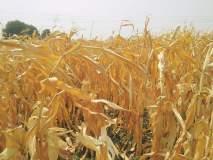 Drought In Marathwada : पाण्याअभावी जागेवरच वाळली पिके