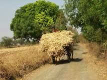 बीड जिल्ह्यात कडबा भडकला, शेतकरी ऊस विकू लागले