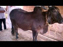 अबब... कपिला गायीच्या दुधाचे तूप चक्क ७ हजार रुपये किलो !