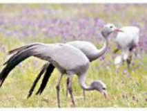 डोमिसियल क्रेन - कुरकुंज्या पक्षी झाला दुर्मीळ