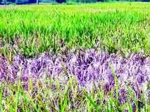 भात पिकावर करपा, खोडकिड्याचा प्रादुर्भाव