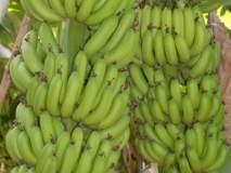सोलापूरच्या केळीला अरब राष्ट्रात मोठी मागणी, कंदर, अकलूज येथुन निर्यात, परदेशात मागणी वाढली