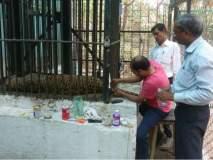 नागपूरच्या महाराजबाग प्राणिसंग्रहालयातील 'अजय' बिबट्याचा मृत्यू