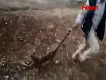 Video - अमानुषपणा! बिबट्याच्या बछड्याला शेपटीला धरुन फरफटत नेलं!