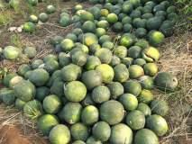 रत्नागिरी : मंडणगड तालुक्यातील तिडेतील कलिंगड शेती संकटात, शेतकरी चांगलेच अडचणीत