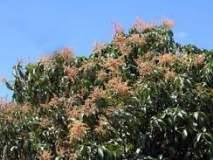 पावसामुळे रत्नागिरी जिल्ह्यातील आंबा पिक धोक्यात, ढगाळ वातावरणामुळे मोहोराला बुरशीचा धोका