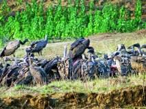 काश्मीर व अफगाणिस्तानातील गिधाडांना गडचिरोलीच्या उपाहारगृहांची ओढ
