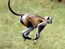 माकडाने घेतला चौघांचा चावा; मर्कटोच्छादाने येडशीकर झाले त्रस्त