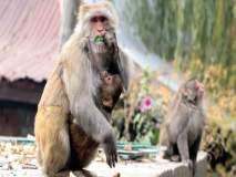 माकडांनी पळवलं 15 दिवसांचं बाळ, विहिरीत सापडला मृतदेह