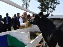 गोदान! नरेंद्र मोदींनी रवांडातील नागरिकांना दिल्या 200 गाई