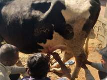 पटवर्धन कुरोलीत बिबट्यासदृश प्राण्याचा गायीवर हल्ला