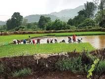 दमदार पावसामुळे भात लावणीच्या कामाला वेग