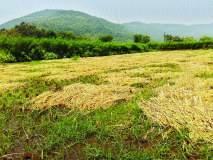 परतीच्या पावसाने भातशेतीचे नुकसान