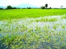 भात आडवा, बळीराजा संकटात