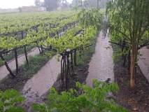 सांगली जिल्ह्यातही पावसामुळे शेतीचे नुकसान, जनजीवन विस्कळीत, द्राक्ष बागायतदार चिंतेत
