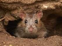 घरात हैदोस घालणाऱ्या उंदरांपासून या घरगुती उपायांनी मिळवा सुटका!