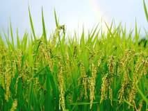 पावसाअभावी भातशेती संकटात; उत्पादन घटण्याची शक्यता