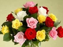 ValentineDay2018 : पाहा गुलाबाच्या वेगवेगळ्या रंगांची वैशिष्ट्ये