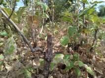 जंगलातील सागवान वृक्षांची अवैध कत्तल