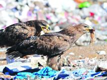 पाचगणीतील स्वच्छतेचा मंगोलीयन गरुडांना फटका