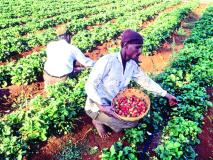 स्ट्रॉबेरी उत्पादकांमध्ये ४०० शेतकरी पदवीधर