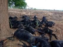 खालपला अज्ञात रोगाने ३२ मेंढ्यांचा मृत्यू