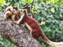 भीमाशंकरनंतर कळसुबाई-हरिश्चंद्रगड अभयारण्यात वाढतोय राज्यप्राणी शेकरु
