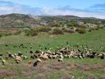 चराई क्षेत्र कमी झाल्यामुळे मेंढपाळ अडचणीत