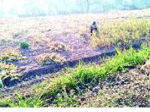 रब्बी हंगामात धान्याचा टक्का वाढला -कोरडवाहू शेतकऱ्यांना अच्छे दिन