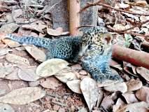 सिंधुदुर्ग : तेंडोलीत सापडले बिबट्याचे पिल्लू,ग्रामस्थांनी सुरक्षितरित्या दिले वनविभागाच्या ताब्यात