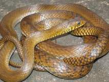 गुजरातमधील 'तो' वृद्ध सापाला चावला, कारण साप त्याला चावला