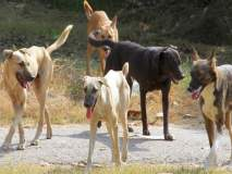 पुण्यातील रस्त्यांवर कुत्र्यांची दहशत